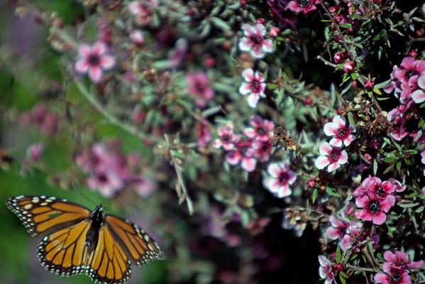 Monarch Butterfly, Cambria, CA
