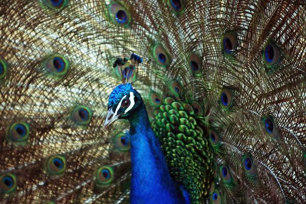 Peacock in Brookings
